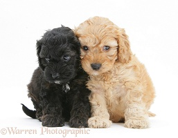 Black and Golden Cockapoo pups, 6 weeks old