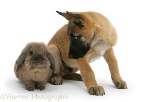Belgian Shepherd Dog pup with a Lionhead rabbit