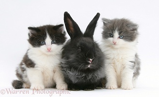 Black Lionhead-cross rabbit with kittens