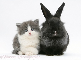 Grey-and-white kitten with black Lionhead-cross rabbit