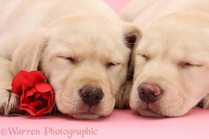Yellow Labrador Retriever pups with asleep with rose