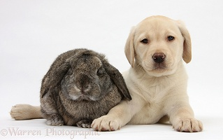 Yellow Labrador pup with Lop rabbit
