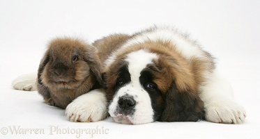 Saint Bernard puppy and rabbit