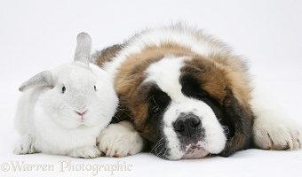 Saint Bernard puppy and white rabbit