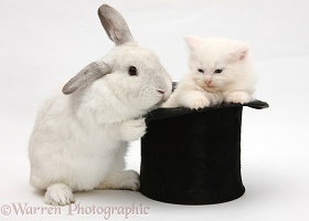 Rabbit and white Maine Coon kitten in a top hat
