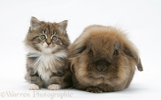 Maine Coon kitten, 7 weeks old, and Lionhead rabbit