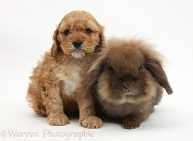 Golden Cockapoo pup with Lionhead-cross rabbit