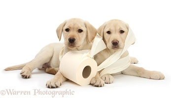 Yellow Labrador Retriever pups with toilet roll