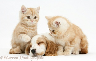 Sleepy orange roan Cocker Spaniel pup with ginger kittens