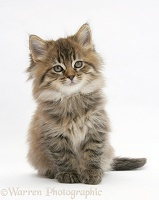 Maine Coon kitten, 7 weeks old, sitting