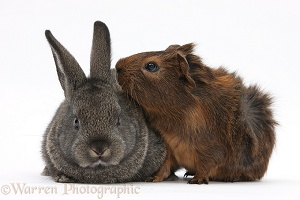 Baby agouti rabbit and baby red-agouti Guinea pig