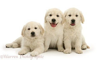 Three Golden Retriever pups