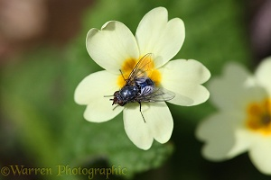 Bluebottle Fly on Primrose flower