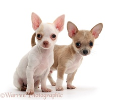 Smooth-haired Chihuahua pups