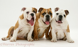 Three Bulldog pups sitting together