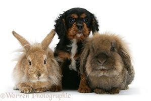 Cavalier King Charles Spaniel pup and rabbits