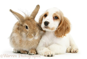 Orange roan Cocker Spaniel pup with sandy rabbit