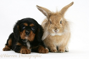 King Charles Spaniel pup and sandy Lionhead rabbit