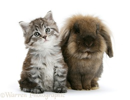 Maine Coon kitten and rabbit
