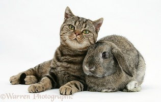 British Shorthair Brown tabby cat with agouti Lop rabbit
