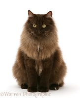 Fluffy dark chocolate Birman-cross cat sitting