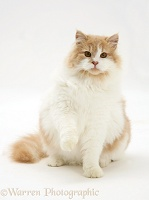 Ginger-and-white cat with raised paw