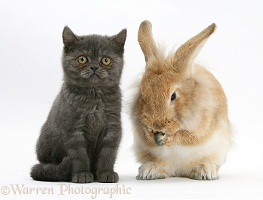 Grey kitten with sandy Lionhead-cross rabbit, washing