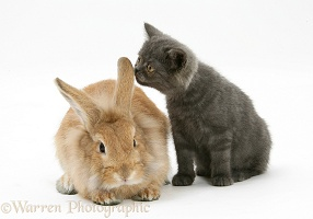 Grey kitten and sandy Lionhead rabbit