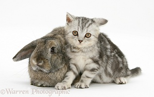 Silver tabby kitten and agouti Lop rabbit