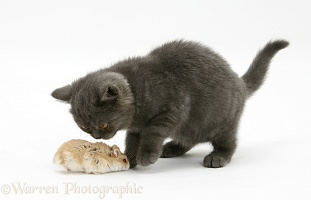 Grey kitten meeting Dwarf Siberian Hamster