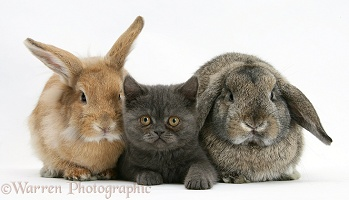 Grey kitten and a rabbits