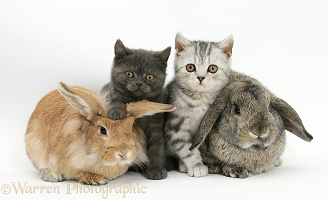 Two kittens and a rabbits