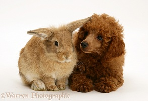 Red Toy Poodle pup with a rabbit
