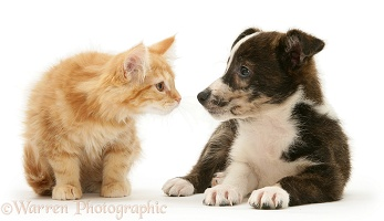 Mongrel pup and ginger Maine Coon kitten
