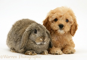 American Cockapoo puppy with Lop rabbit