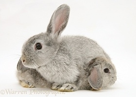 Mother and baby silver rabbits