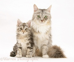 Maine Coon mother cat and kitten