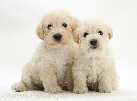 Woodle (West Highland White Terrier x Poodle) pups