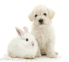 Woodle pup and white rabbit