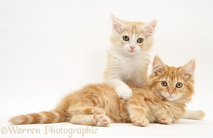 Ginger Maine Coon kittens