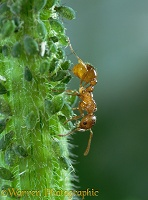 Red Ants collecting honeydew from Aphids