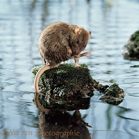 Brown rat on rock in water