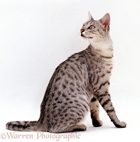 Silver Egyptian mau female cat looking over shoulder