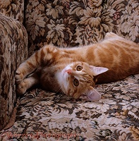 Young ginger cat stretching in armchair