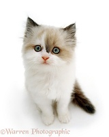Ragdoll kitten looking up