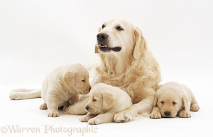 Yellow Labrador Retriever bitch with three young puppies