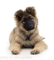 Alsatian puppy, lying head up