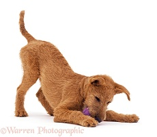 Playful Irish Terrier