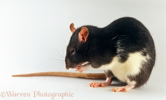 White-bellied black rat grooming her whiskers