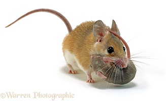 Spiny Mouse carrying baby